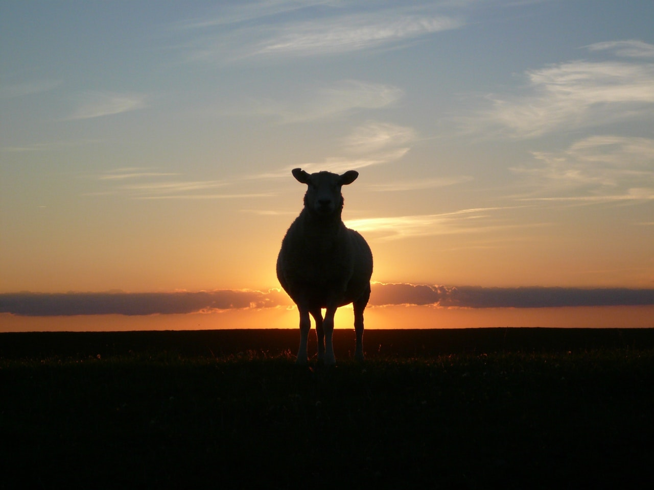 sheep at sunset sermon on the mount